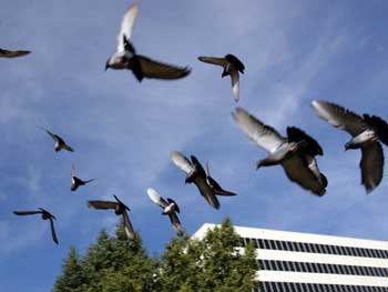 When Birds Become Pests