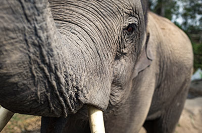Elephant up-close