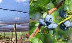 Agricultural Netting used on Blueberries