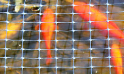 Koi Under Pond Netting